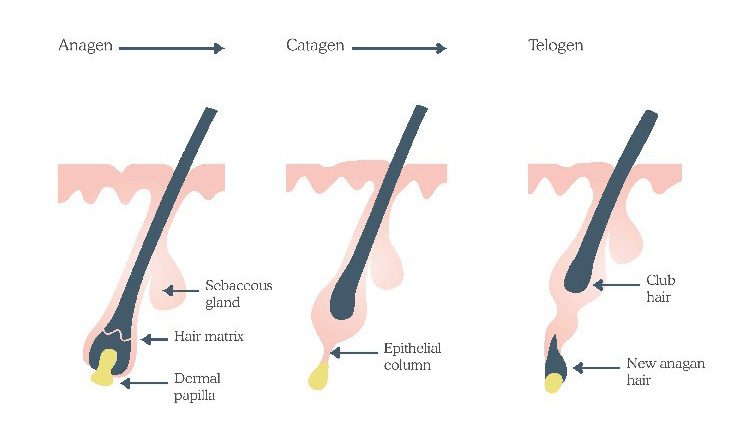 Stages of hair follicle growth | Male Hair Removal Myths | Nads for Men